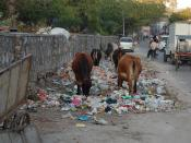 English: Cows eating trash, Jaipur, India.