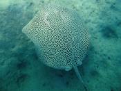 Honeycomb stingray (Himantura uarnak) in the Red Sea off Al Bahr al Ahmar, Egypt