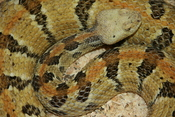 English: Crotalus horridus (timber rattlesnake) at the Oxbow Zollman Zoo in Olmsted County, Minnesota