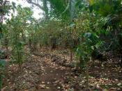 English: Old-fashioned coffee-plantation in Reunion