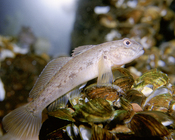 Round goby from the Great Lakes, USA