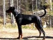 Breeds like this Doberman were specifically bred for guard duty.