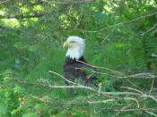 English: An American Bald Eagle at rest on Raspberry Island, Alaska.