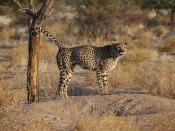 A cheetah in southern Namibia. It is urinating over a tree trunk. Français : Un Guépard urine sur un tronc d'arbre. Photo prise dans le sud de la Namibie. Italiano: Un ghepardo (Acinonyx jubatus) nell'atto di marcare il territorio urinando su un tronco d'