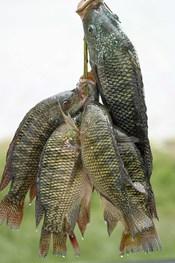 Tilapia caught in Lake Hora, Debre Zeyit, Ethiopia.