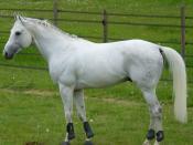 Anglo-Arabian Stallion