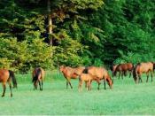 English: Poland - Pure Arabians