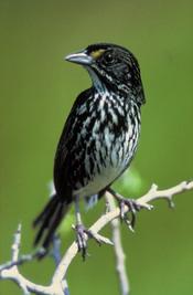 Dusky Seaside Sparrow (Ammodramus maritimus nigrescens)