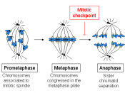 English: Drawing showing chromosomes in the mitotic spindle, from prometaphase to anaphase. Español: Dibujo que muestra cromosomas en el huso mitótico, desde prometafase hasta anafase.
