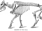 Skeleton of wild boar
