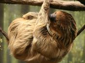 Linnaeus's Two-toed Sloth (Choloepus didactylus) at the Buffalo Zoo