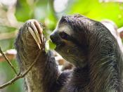Three-toed-sloth, picture taken in the Cahuita National Park in the southeast of Costa Rica Français : Un paresseux à trois doigts (Bradypus sp.). Photo prise dans le parc national de Cahuita, au sud-est du Costa Rica.