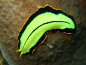 English: The flatworm Pseudoceros dimidiatus. North Horn, Osprey Reef, Coral Sea.
