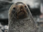 Antarctic Fur Seal at Point Wild, Elephant Island In the South Shetland Islands, Antarctica.