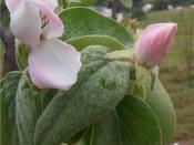 English: Quince flowers