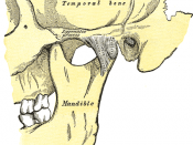 Articulation of the mandible. Lateral aspect.