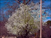 Bradford Pear - Recovery Year 2