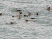 English: Raft of River Otters (Lontra canadensis) in Ganges Harbour, Saltspring Island, British Columbia
