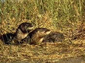 English: River Otters Deutsch: Nordamerikanische Fischotter