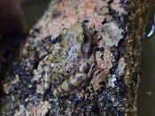 Cliff Chirping Frog, Eleutherodactylus marnockii from Austin, Texas, USA