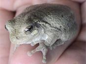 Photographer: LA Dawson Grey Tree Frog, Hyla versicolor